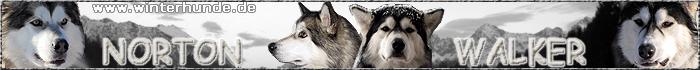 Alaskan Malamute NortonWalker - winterhunde.de